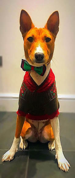 Image of a basenji dog, sat down wearing a christmas jumper and bow tie